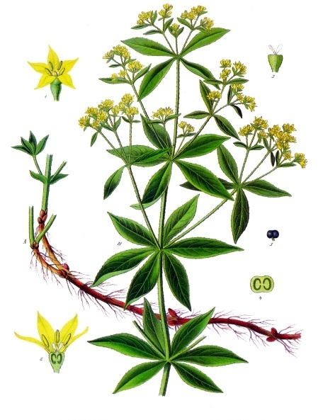 Garance (rubia tinctorum) par Franz Eugen Köhler